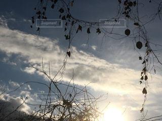冬の空に枯れた烏瓜が・・・ - No.948249