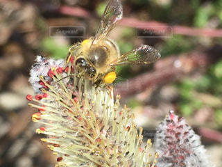 アカメヤナギに蜂蜜 アップしてますの写真・画像素材[1038637]