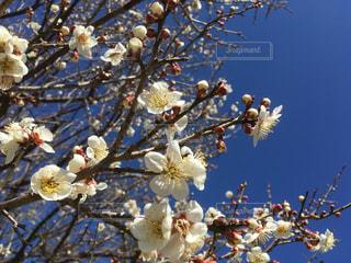 青空に白梅満開の写真・画像素材[1038643]