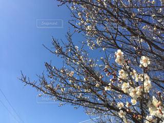 白梅と青空と太陽と春です - No.1038646