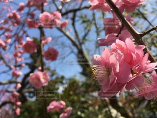桃色のしだれ梅 満開ですの写真・画像素材[1063161]