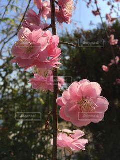 桃色のしだれ梅 かわいいの写真・画像素材[1063163]