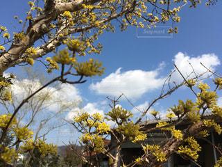 青空に映えるサンシュの黄色いはなの写真・画像素材[1063168]