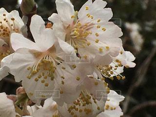 さくらんぼの花が満開です - No.1077472
