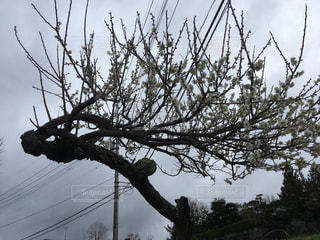 何に見えますか?白梅が咲きましたの写真・画像素材[1077479]
