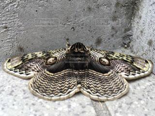 目玉を持った蛾の写真・画像素材[1077482]