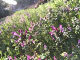 仏の座がたくさん咲きましたよの写真・画像素材[1085353]