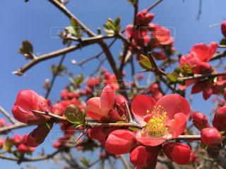紅木瓜が咲き始めましたの写真・画像素材[1087930]