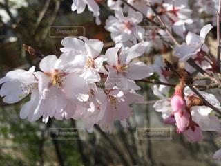 桜の花の写真・画像素材[1087936]