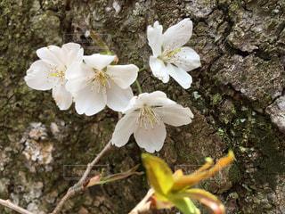 もちづき桜の花は可愛いですよの写真・画像素材[1092711]