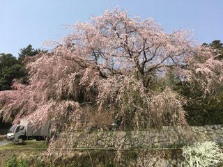 しだれ桜親子の木の写真・画像素材[1092850]
