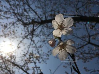 しだれ桜に春霞の写真・画像素材[1092859]
