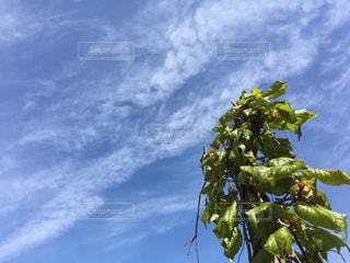 枯れ木に巻き付いた蔦と空 - No.1148866