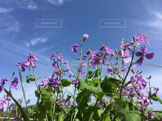 紫色の花 紫花菜は青い春の空に映えますの写真・画像素材[1148869]