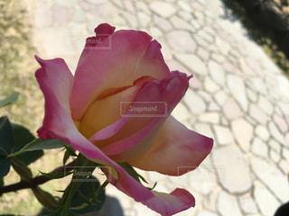 薔薇園は何時も良い香りで溢れていますね - No.1181421