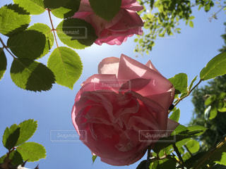 空と薔薇と・・・の写真・画像素材[1181423]