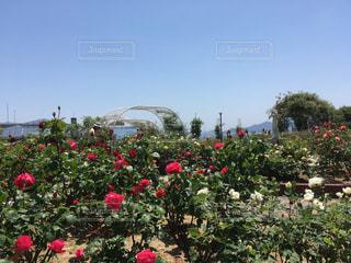 薔薇園の5月のとある日の写真・画像素材[1181425]