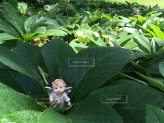 クリスマスローズの庭には天使が似合うの写真・画像素材[1181427]