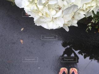 白い紫陽花の咲いている雨上がりの道を歩いくの写真・画像素材[1275421]