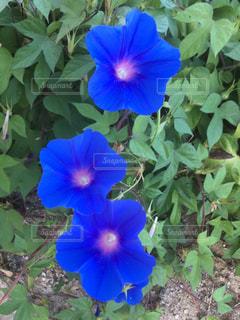 青色の朝顔の写真・画像素材[1406956]