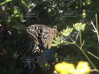 我が家で生まれた黄揚羽蝶の写真・画像素材[1406967]