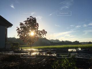 おばあちゃんちの畑の赤紫蘇一本の写真・画像素材[1406970]