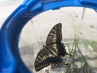 虫かごでかえった揚羽蝶の写真・画像素材[1458504]