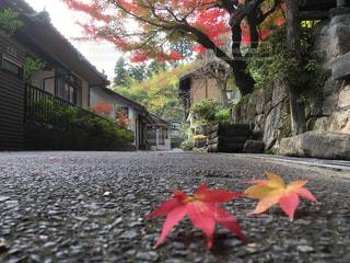 温泉街の紅葉は赤と黄色のもみじの写真・画像素材[1601533]