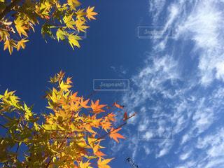 秋の空ともみじの黄葉の写真・画像素材[1601536]