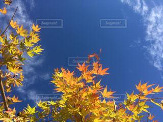 空と黄葉のもみじ🍁の写真・画像素材[1601537]
