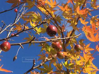 姫林檎ともみじそして黄葉が始まったの写真・画像素材[1601538]