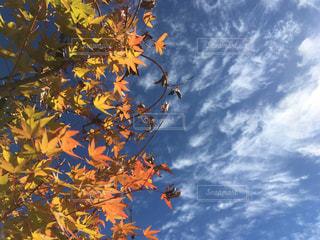 背景の青い空ともみじの写真・画像素材[1601539]