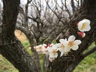 しろ梅のいい香り 咲きました春ですよの写真・画像素材[1823824]