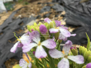ダイコンの花が一本畑で咲いていましたの写真・画像素材[1823830]