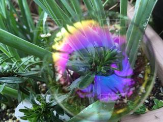 葉っぱについたシャボン玉 虹色に輝いてますの写真・画像素材[2056876]