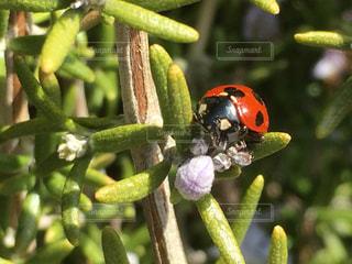ローズマリーにてんとう虫が遊んでいますの写真・画像素材[2252518]