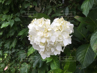 白い紫陽花がハートの形に咲いていますの写真・画像素材[2252530]