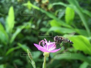 野の花に蜂が止まってます ミツバチかな?の写真・画像素材[2481097]