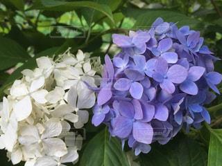 紫陽花の花 白と紫の写真・画像素材[2481441]