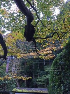 フォレスト内のツリーの写真・画像素材[906246]
