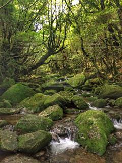 屋久島「白谷雲水峡」苔むす森の写真・画像素材[764363]