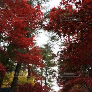 森の中の赤いツリーの写真・画像素材[818908]