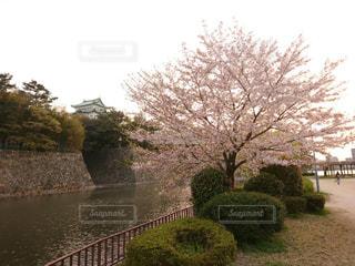 名古屋城と桜の写真・画像素材[1105491]
