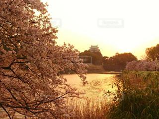 夕焼けに染まる名古屋城と桜の写真・画像素材[1105492]
