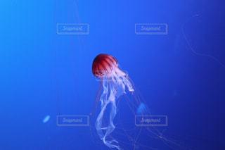 クラゲの写真・画像素材[1176514]