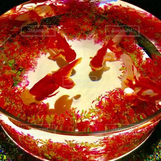 金魚の写真・画像素材[1378604]