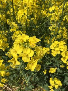 黄色の花 - No.764267