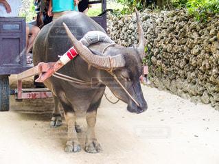 竹富島の水牛の写真・画像素材[785656]