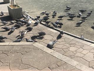 公園の鳩の写真・画像素材[1015680]