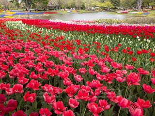 チューリップ咲く昭和記念公園の渓流広場の写真・画像素材[1134622]